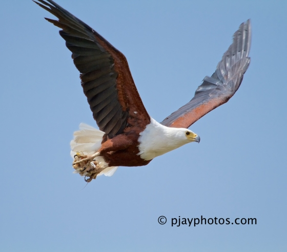 African Fish-eagle, Haliaeetus vocifer, fish-eagle, eagle, bird, ethiopia.