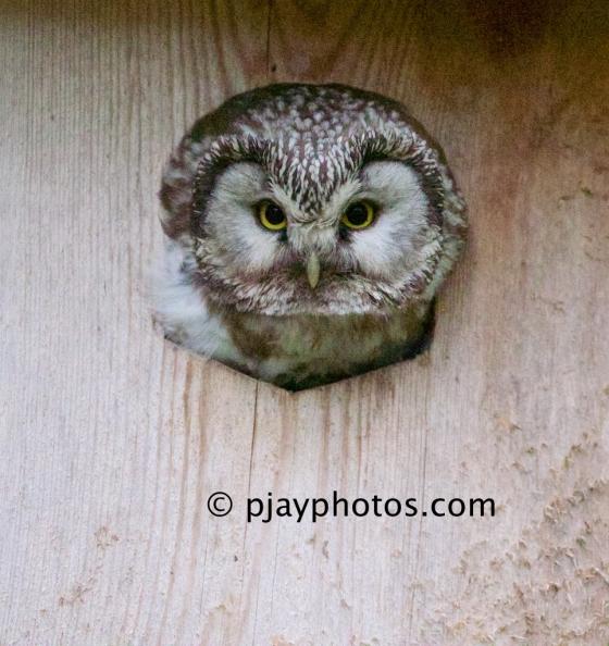 Boreal Owl, Tengmalm's Owl, Aegolius funereus, owl, finland, bird