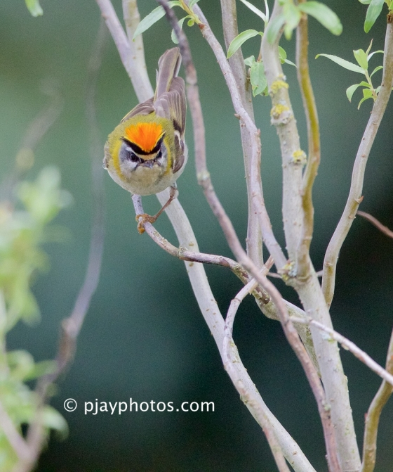 Common Firecrest, Regulus ignicapilla, firecrest, bird, germany