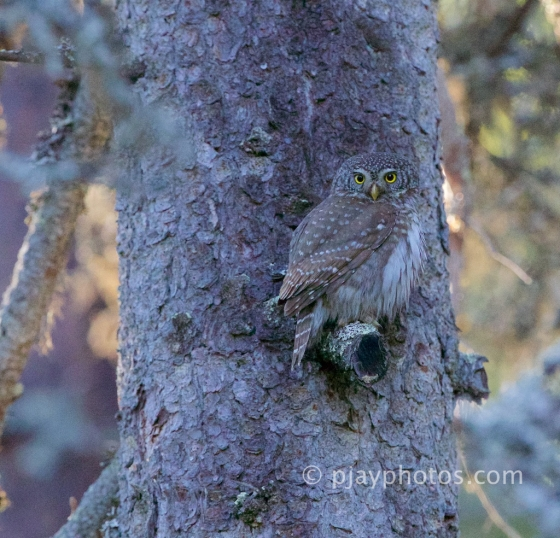 Eurasian Pygmy-owl, Glaucidium passerinum, owl, finland,