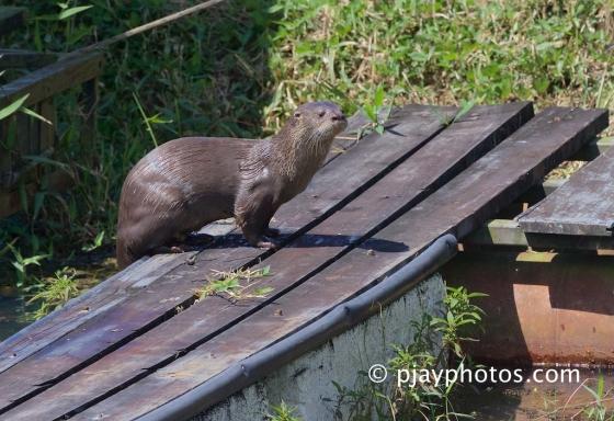 Neotropical Otter, Contra longicaudis, otter, mammal, honduras