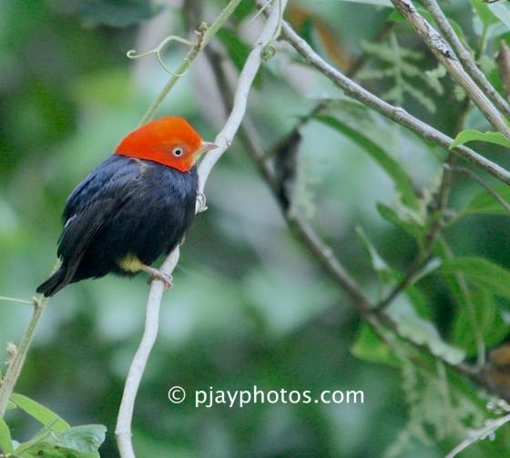 Red-capped Manakin, Pipra mentalis, manakin, bird, guatemala