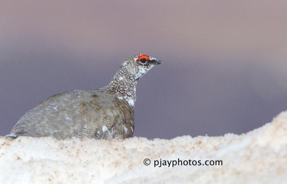 Rock Ptarmigan, Lagopus mutus, grouse, bird, scotland