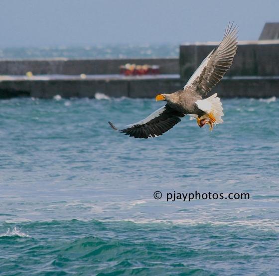 Steller's Sea-eagle, Haliaeetus pelagicus, sea-eagle, eagle, bird, japan