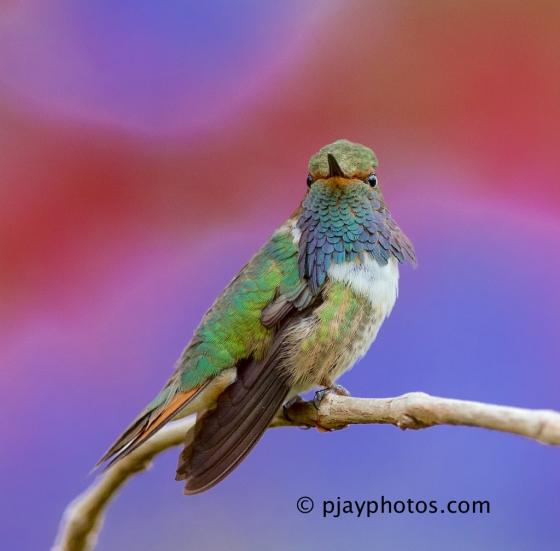 Volcano Hummingbird, Selasphorus flammula, hummingbird, costa rica, bird.