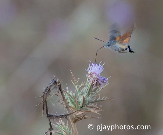 Hummingbird Hawkmoth, Macroglossum stellatarum, hawkmoth, moth, Turkey