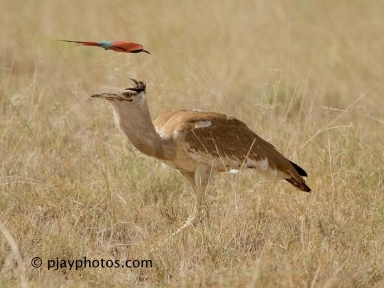 Northern Carmine Bee-eater, Carmine Bee-eater, Bee-eater, Merops nubicus, Arabian Bustard, Ardeotis arabs, bustard, ethiopia, bird