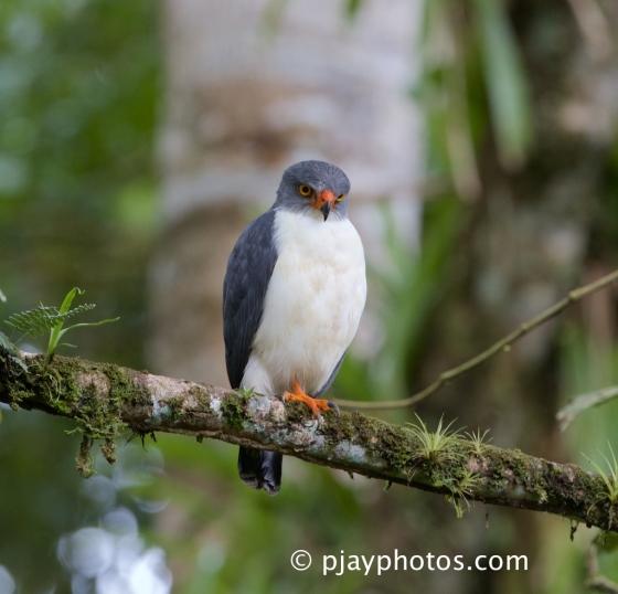Semiplumbeous Hawk, Leucopternis semiplumbea, hawk, raptor, bird, costa rica