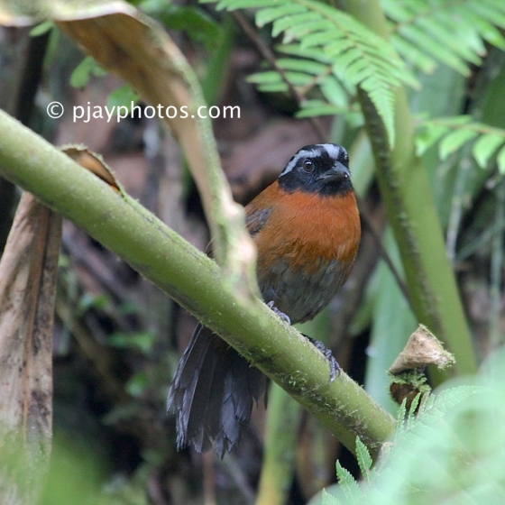 Tanager Finch, Oreothraupis arremonops, bird, colombia