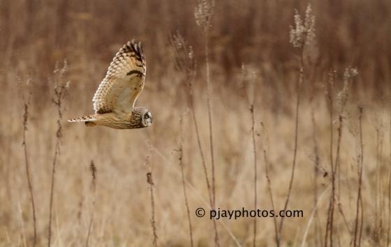Short-eared Owl, Asio flammeus, owl, bird, england, uk