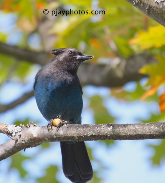 Steller's Jay, Cyanocitta stellerI, jay, crow, bird, usa, seattle, washington