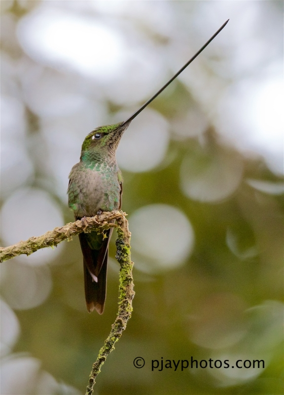 Sword-billed Hummingbird, Ensifera ensifera, hummingbird, bird, ecuador