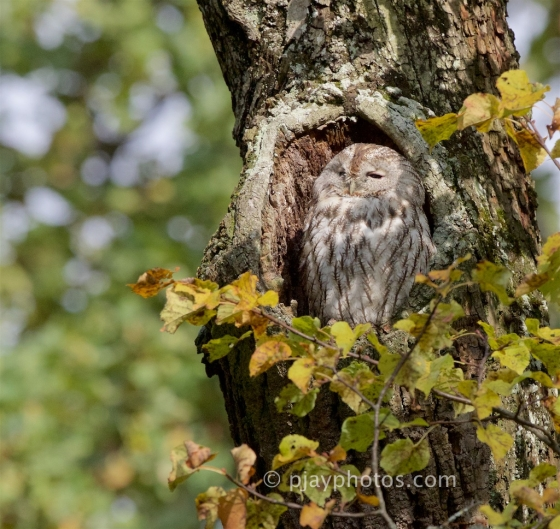 Tawny Owl, Strix Aluco, owl, bird, germany