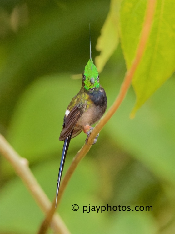Wire-crested Thorntail, Discosura popelairii, hummingbird, bird, ecuador
