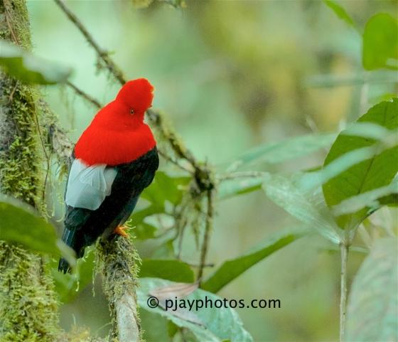 Andean Cock-of-the-rock, Rupicola peruvianus, cotinga, bird, ecuador