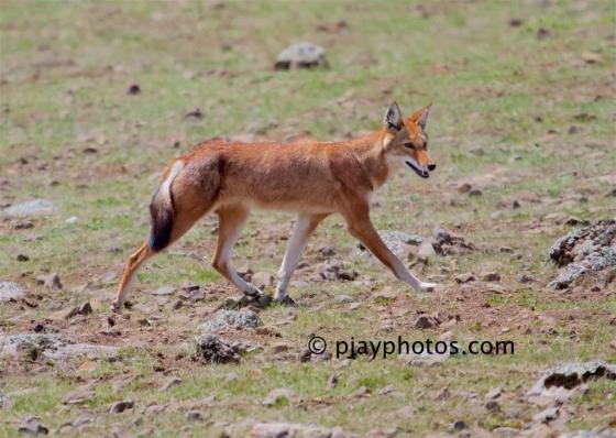 Ethiopian Wolf, Canis simensis, wolf, carnivore, mammal, ethiopia