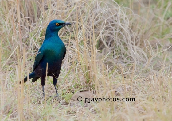 Greater Blue-eared Starling, Lamprotornis chalybaeus, starling, greater blue-eared glossy starling, glossy starling, ethiopia