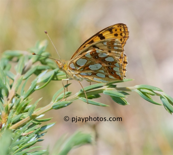 Queen of Spain Fritillary, Issoria lathonia, butterfly, italy