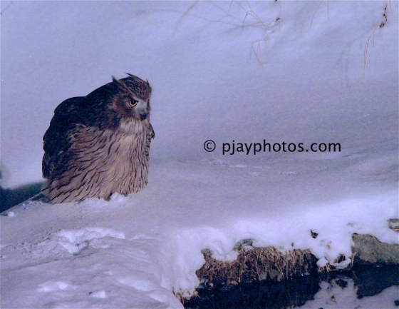 Blakiston's Eagle-owl, Bubo blakistoni, Blakiston's Fish-owl. fish-owl, eagle-owl, owl, bird, japan