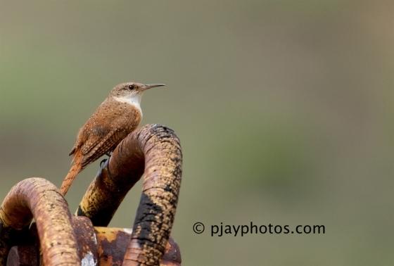 Canyon Wren, Catherpes mexicanus, wren, bird, arizona, usa