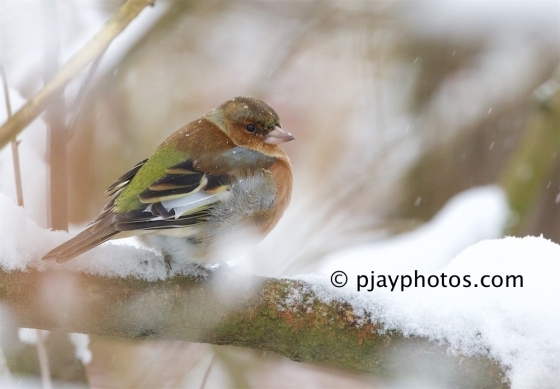 Common Chaffinch, Fringilla coelebs, chaffinch, finch, bird, germany