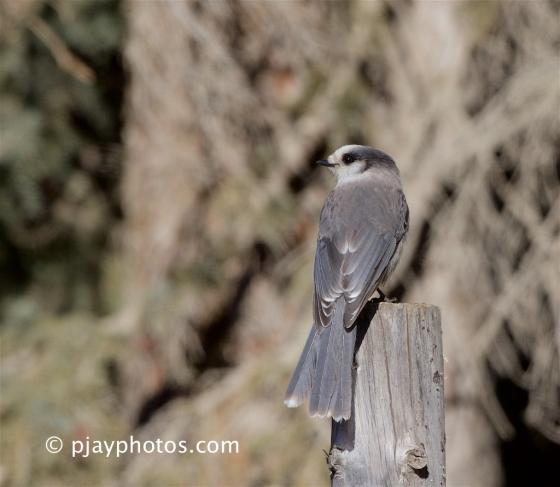 Grey Jay, Gray Jay, Perisoreus canadensis, jay, crow, bird, canada