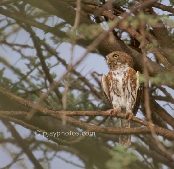 Pearl-spotted Owlet, Glaucidium perlatum, owlet, owl, bird, ethiopia
