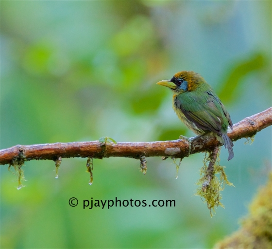 Red-headed Barbet, Eubucco bourcieerii, barbet, bird, ecuador