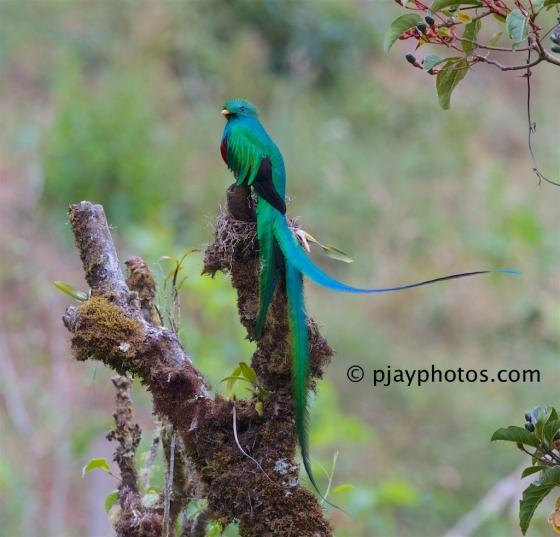 Resplendant Quetzal, Pharomachrus mocinno, quetzal, trogon, bird, costa rica