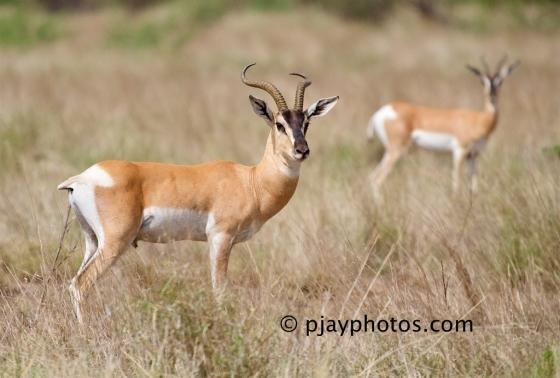 Soemmerring's Gazelle, Nanger soemmerringii, gazelle, mammal, ethiopia
