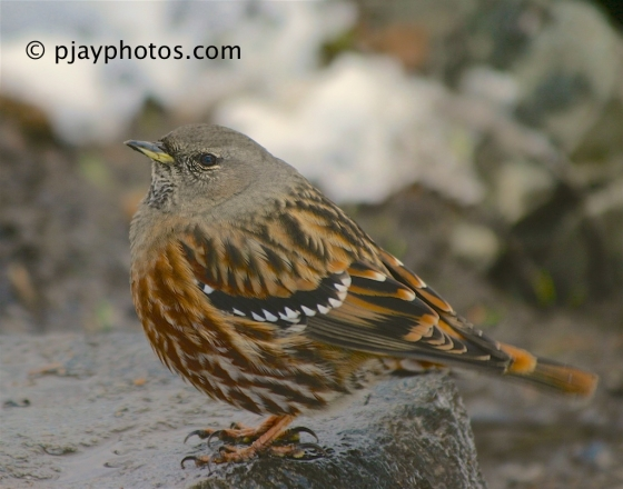 Alpine Accentor, Prunella collaris, accentor, bird, japan