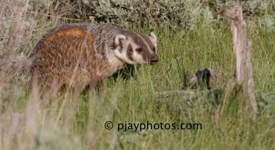 American Badger, Taxidea taxus, badger, mammal, yellowstone, usa
