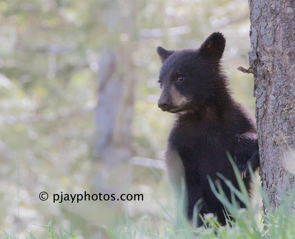 ursus americanus the north american black Abstract: american black bears (ursus americanus) and brown bears (u arctos)  can  96 bears as predators in north america zager and beecham.
