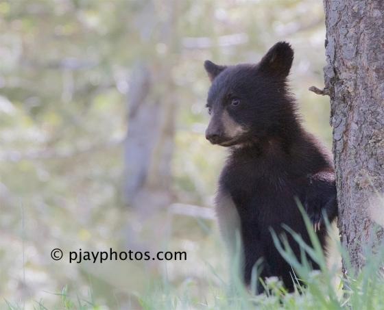 American Black Bear, Ursus americanus, black bear, bear, mammal, usa