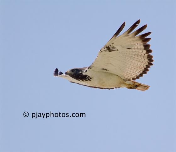 Augur Buzzard, Buteo augur, buzzard, hawk, bird of prey, raptor, bird, ethiopia