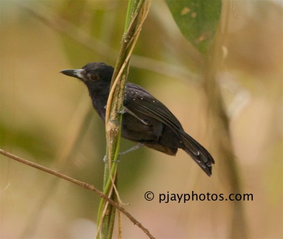 Black-hooded Antshrike, Thamnophilus bridgesi, antshrike, antbird, bird, costa rica