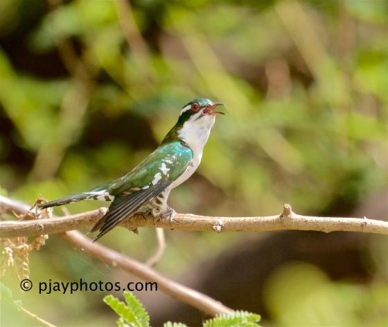 Diederik Cuckoo, Chrysococcyx caprius, cuckoo, bird, ethiopia