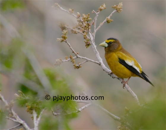 Evening Grosbeak, Hesperiphona vespertina, grosbeak, finch, bird, usa