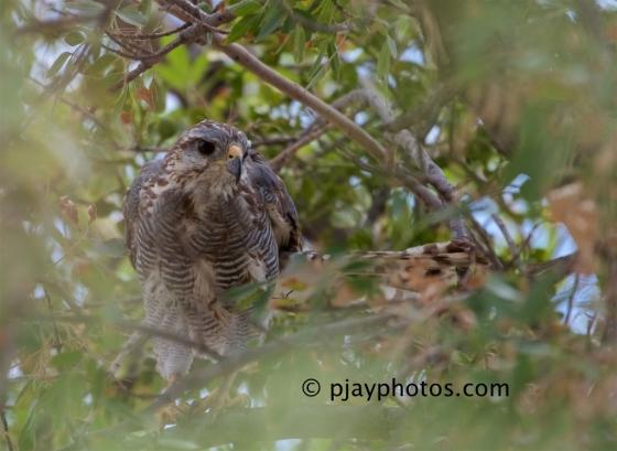 Grey Hawk, Buteo nitidus, hawk, raptor, bird of prey, bird, arizona, usa