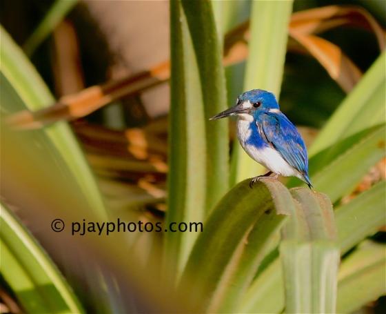 Little Kingfisher, Alcedo pusilla, kingfisher, bird, australia