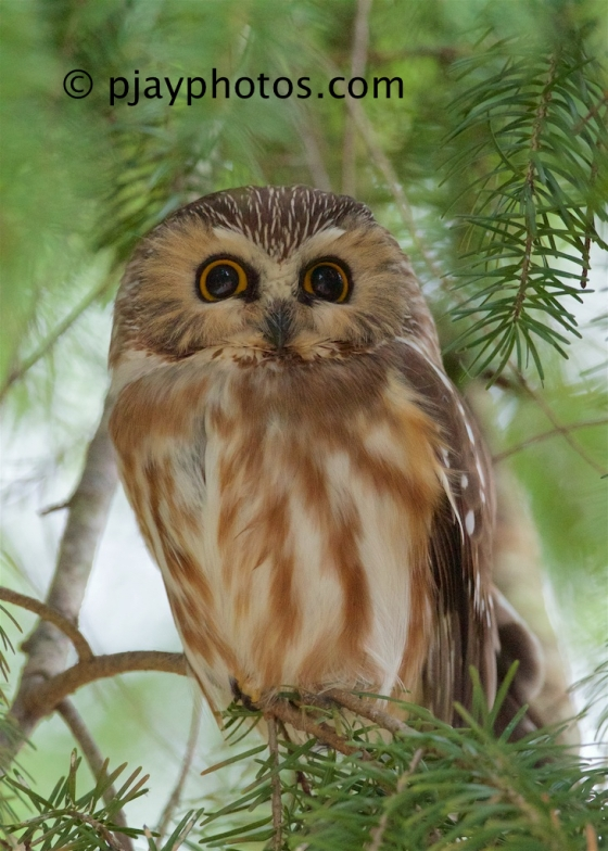 Northern Saw-whet Owl, Aegolius acadicus, saw-whet owl, owl, bird, canada