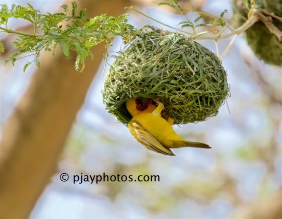 Rüppell's Weaver, Ploceus galbula, weaver, bird, ethiopia