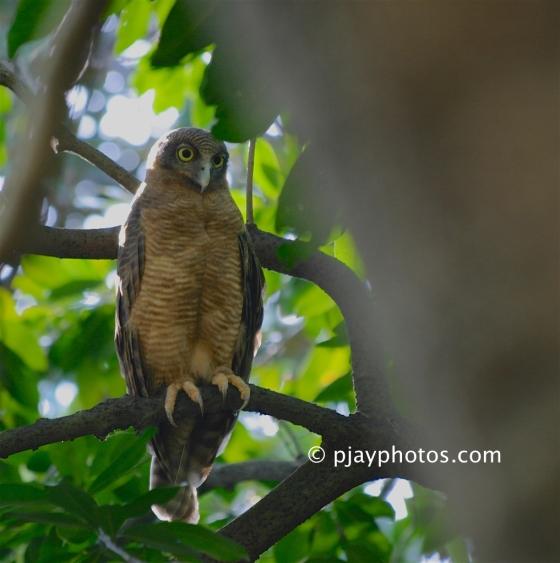 Rufous Owl, Ninox rufa, owl, bird, australia