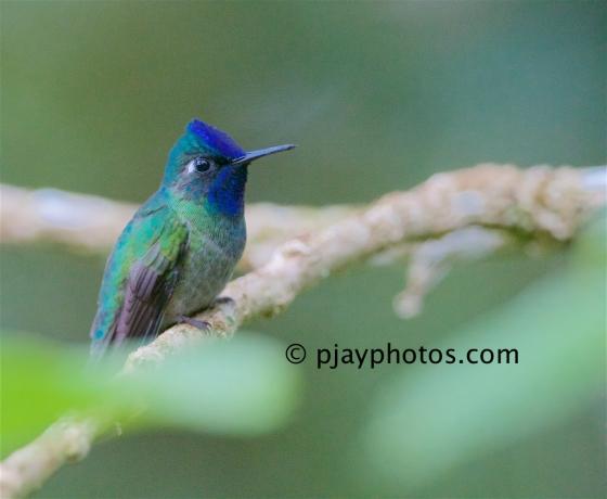 Violet-headed Hummingbird, Klais guimeti, hummingbird, bird, costa rica