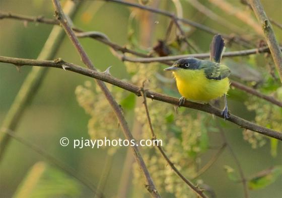 Common Tody-flycatcher, Todirostrum cinereum, tyrant flycatcher, bird, honduras