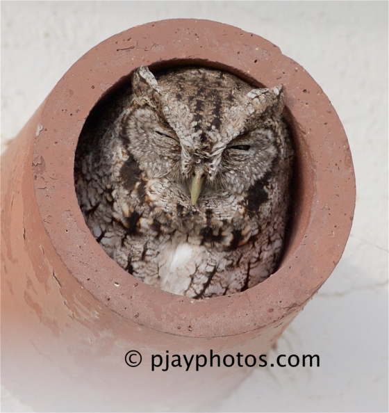 Eastern Screech-owl, Otus asio, owl, bird, texas, usa