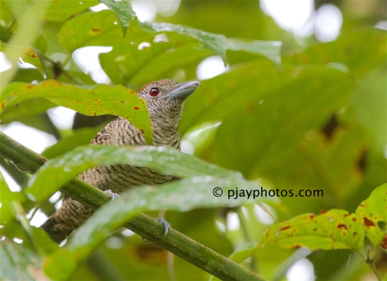 Fasciated Antshrike, Cymbilaimus lineatus, antshrike, typical antbird, antbird, bird, costa rica