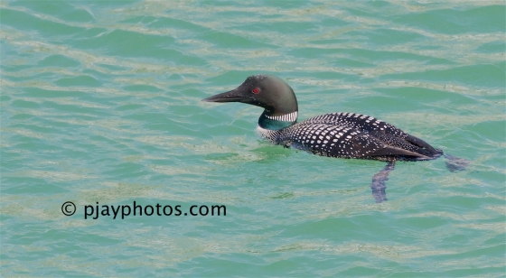 Great Northern Diver, Gavia immer, diver, common loon, loon, bird, canada