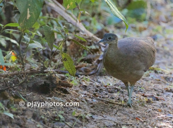 Great Tinamou, Tinamus major, tinamou, bird, costa rica