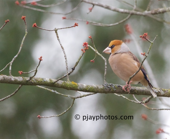 Hawfinch, Coccothraustes coccothraustes, finch, bird, germany
